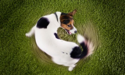 A dog chasing its tail